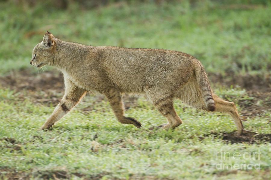 Злая кошка, характер, темперамент, породы, особенности поведения, фото - мир кошек