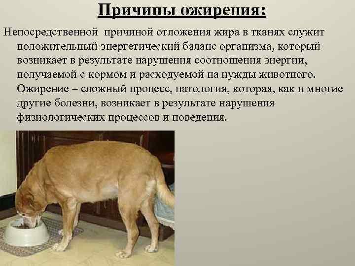 Избыточный вес: большие риски для собак