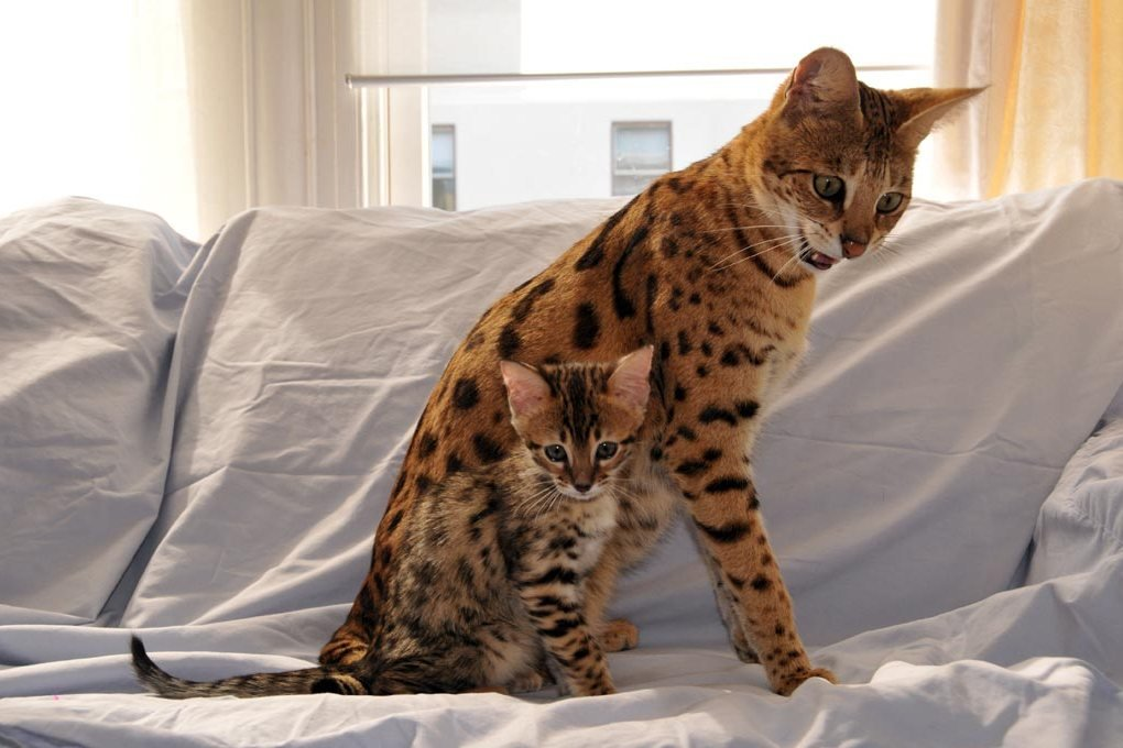 Cамые большие домашние кошки: размер имеет значение
