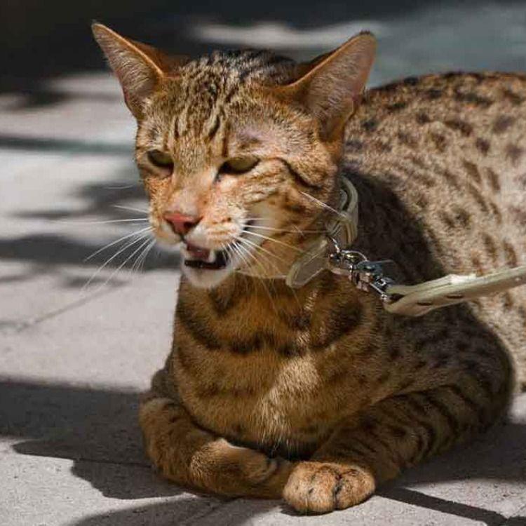 Короткошерстные породы кошек с фотографиями и названиями, уход за питомцами с короткой шерстью
