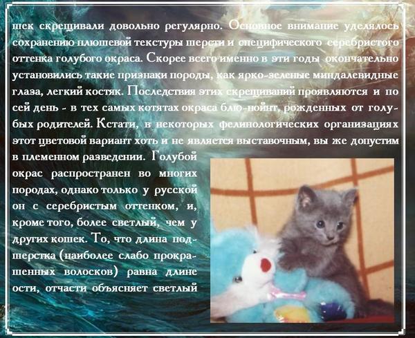 Русская голубая кошка - фото, характер, описание породы