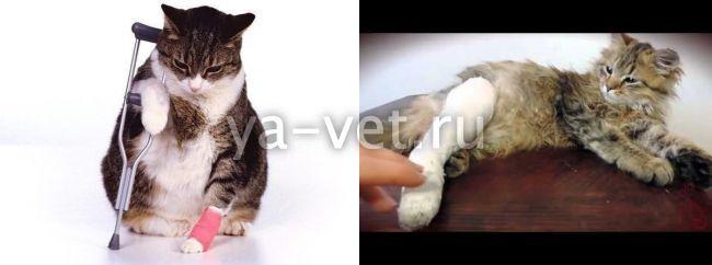 """Кошки-инвалиды: как ухаживать?   блог ветклиники """"беланта"""""""