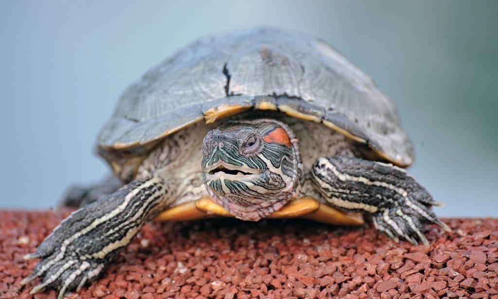 Спячка черепах в домашних условиях: как и когда черепашки уходят в спячку (фото)