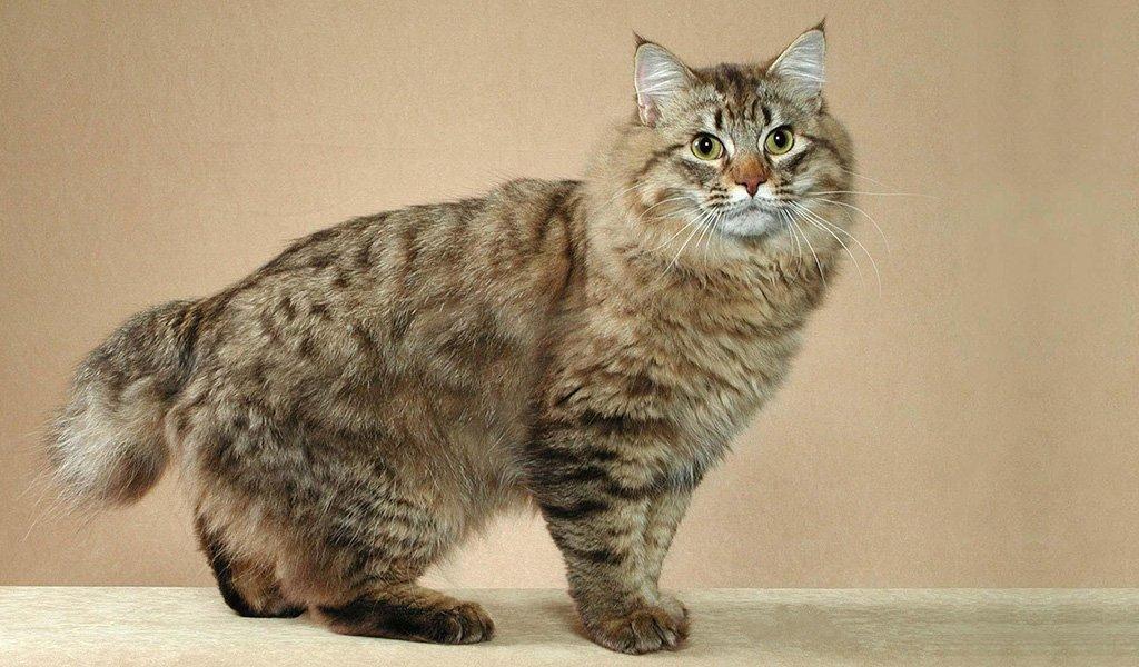 Самые большие кошки в мире: домашние породы топ 20