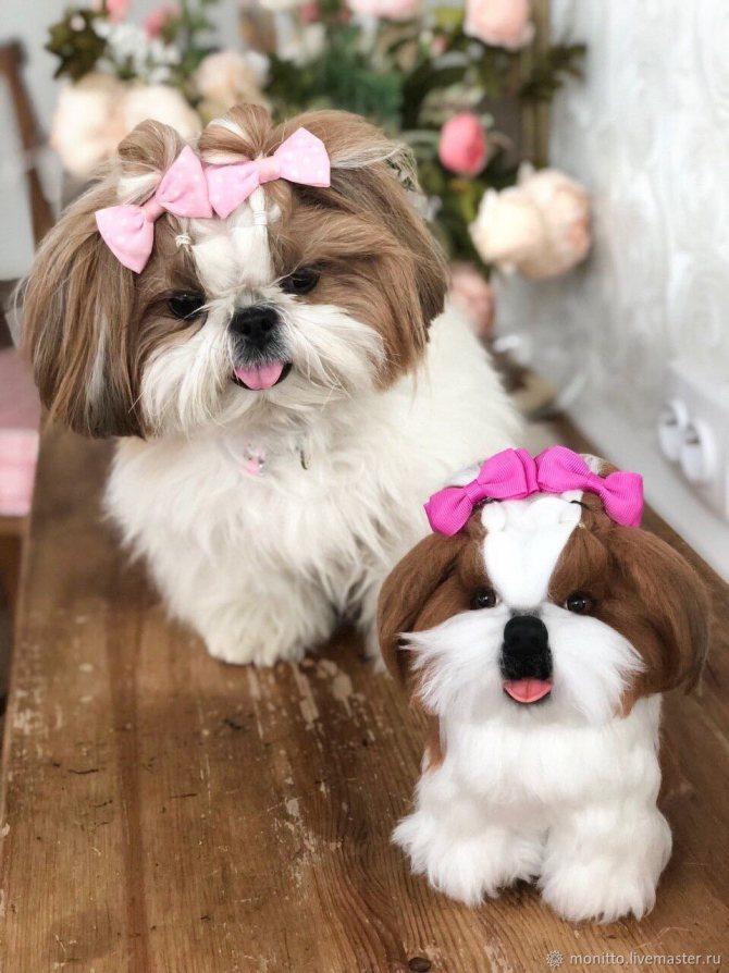 Порода собак ши-тцу: фото, видео и характеристика