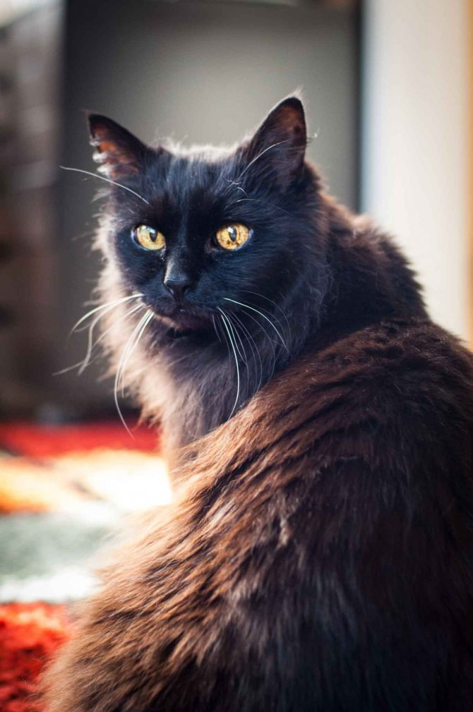 Шантильи тиффани кошка характеристика породы, фото, характер, правила ухода и содержания - petstory