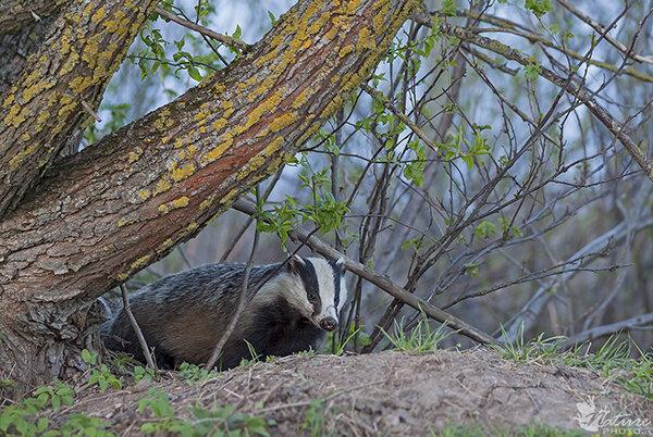 Американский барсук | описания и фото животных | некоммерческий учебно-познавательный интернет-портал зоогалактика