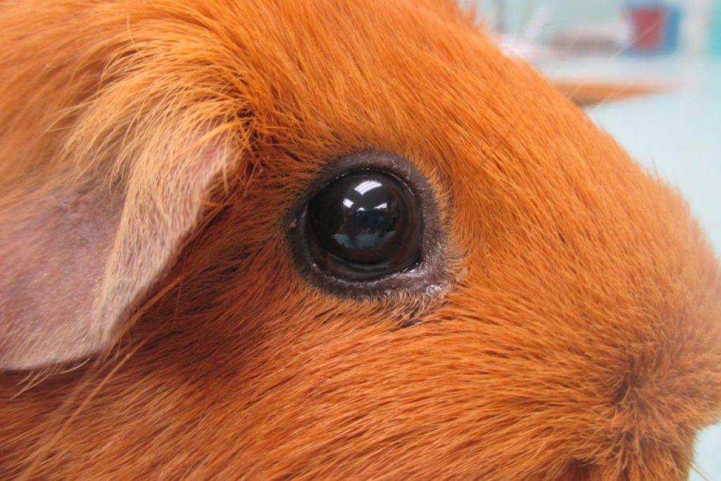 Заболевания морских свинок
