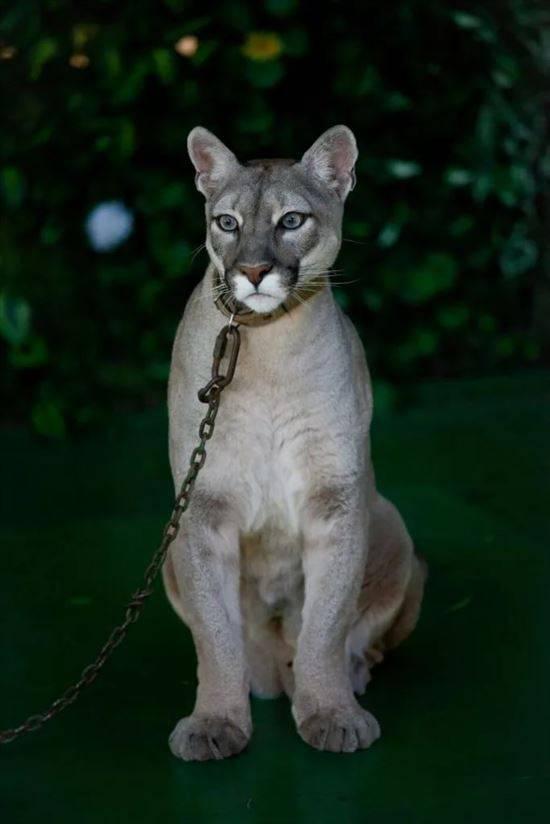 Бамбино: описание породы, фото кошки, отзывы владельцев, сколько лет живут?