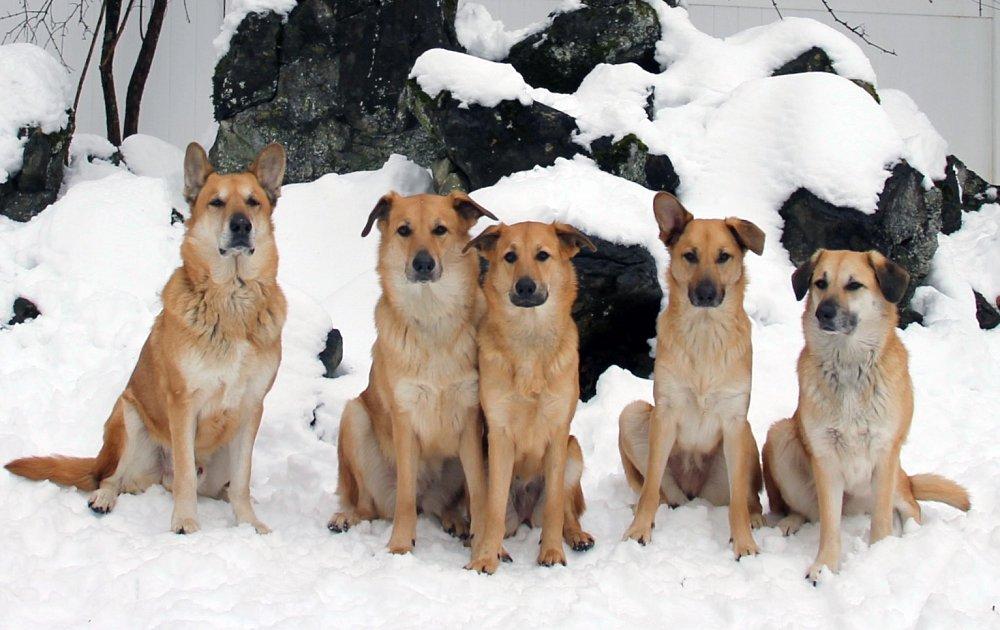 Порода собак чау-чау. описание с фото, видео. отзывы, цена