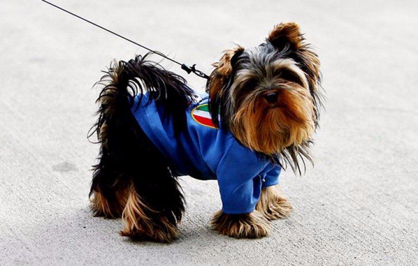 Выбор имени для йоркширского терьера – подходящие клички для собаки
