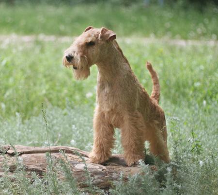 Лейкленд терьер — описание породы (с фото) | все о собаках