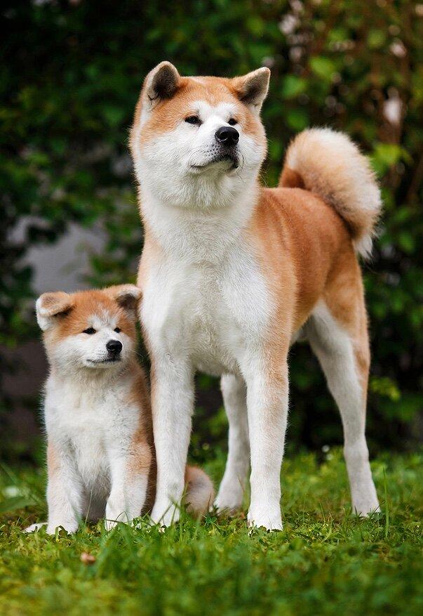Акита-ину (88 фото): описание породы собак и характер, характеристика окрасов щенков и размеры. чем нужно кормить? отзывы владельцев
