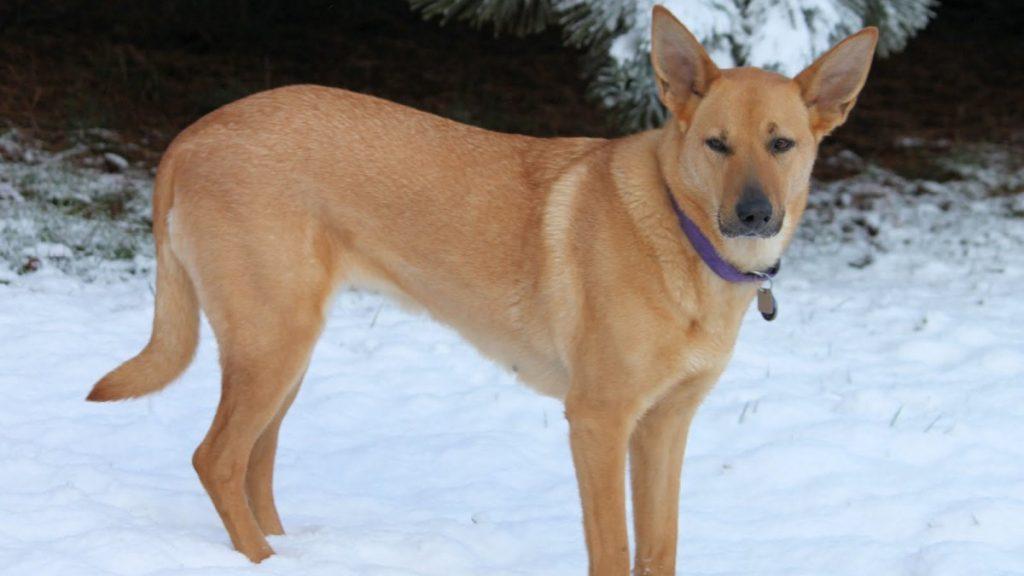 Чинук, одна из самых дорогих пород в мире ⋆ собакапедия