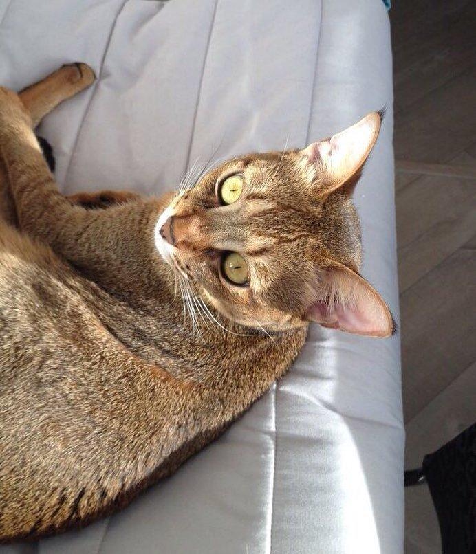 Чаузи — одна из самых дорогих кошек мира