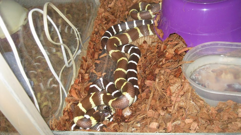 Змеи как домашние животные