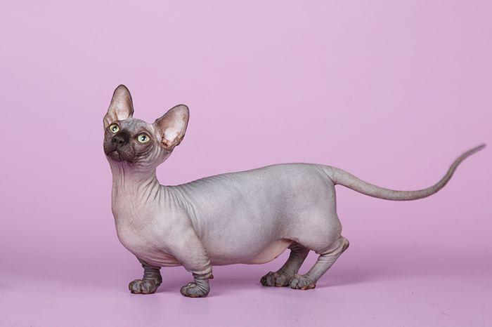Бамбино: описание породы и характер котов - уход +видео и фото