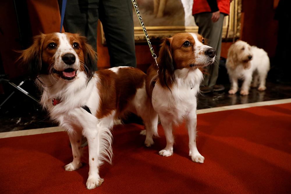 Коикерхондье (25 фото): описание голландских спаниелей, особенности содержания породы. как воспитывать щенков и взрослых собак?