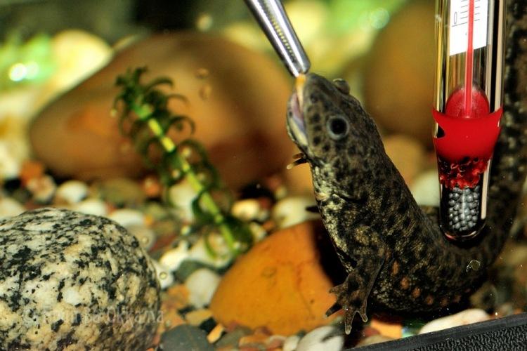 Тритон домашний: описание и виды, содержание, уход и размножение в аквариуме