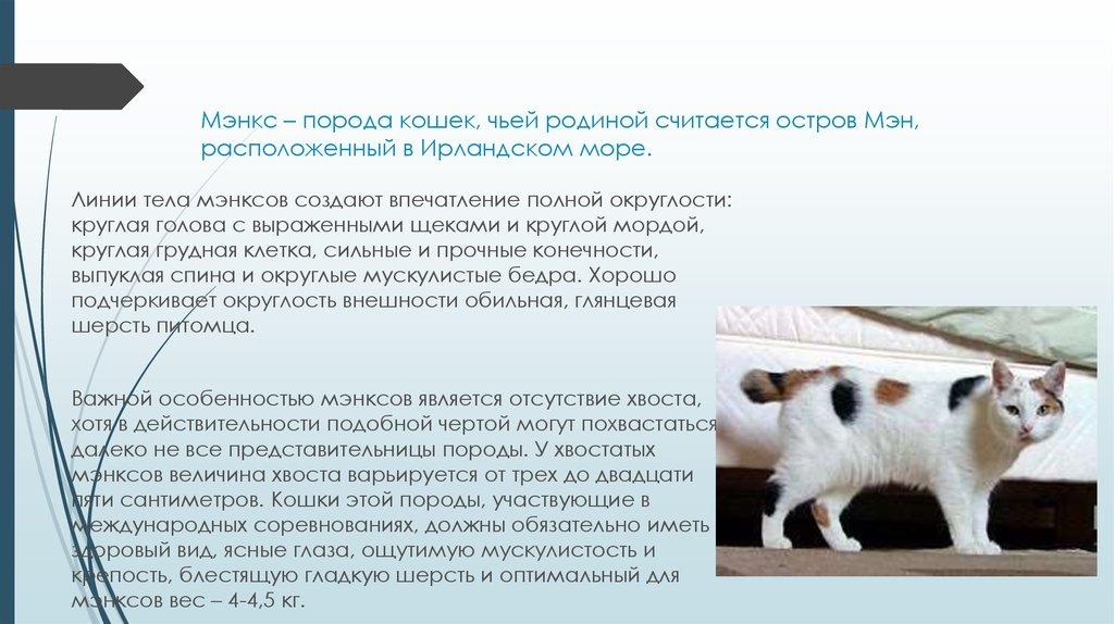 Аравийский мау (арабский)-описание породы кошек, 20 фото