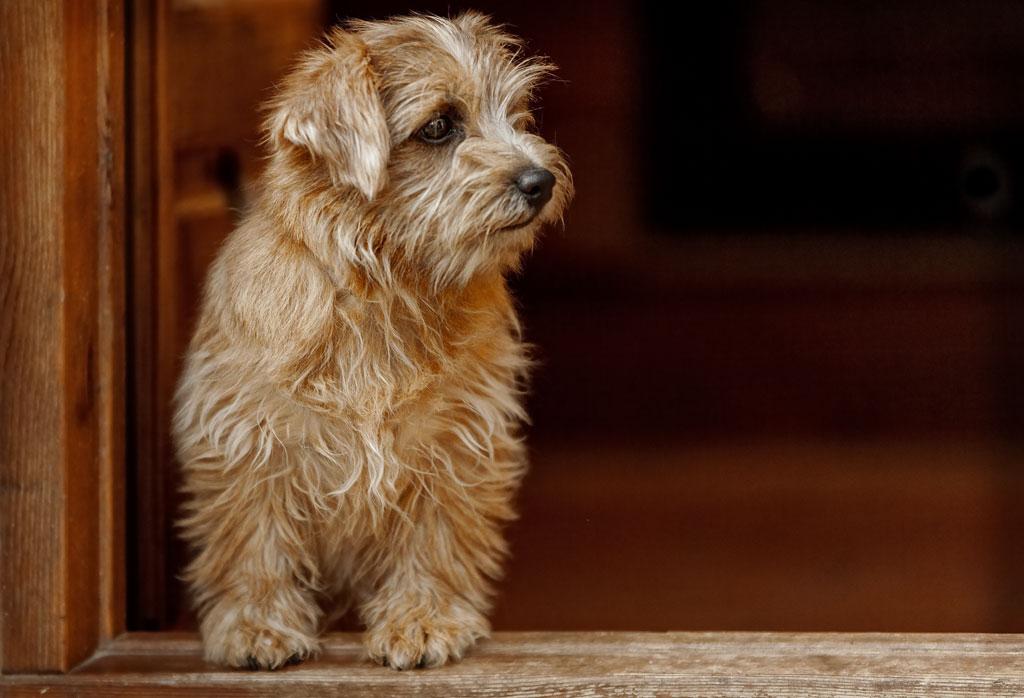 Небольшая, забавная собака родом из англии – норвич терьер