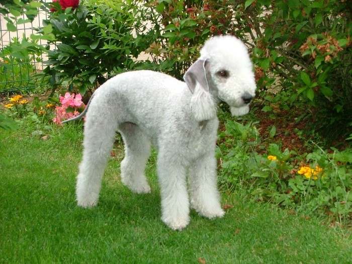 Бедлингтон-терьер: описание породы с фото, характер, здоровье, плюсы и минусы, выбор щенка