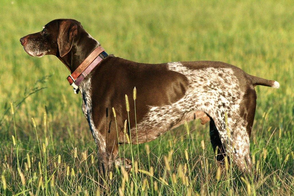 Особенности экстерьера собаки английский пойнтер