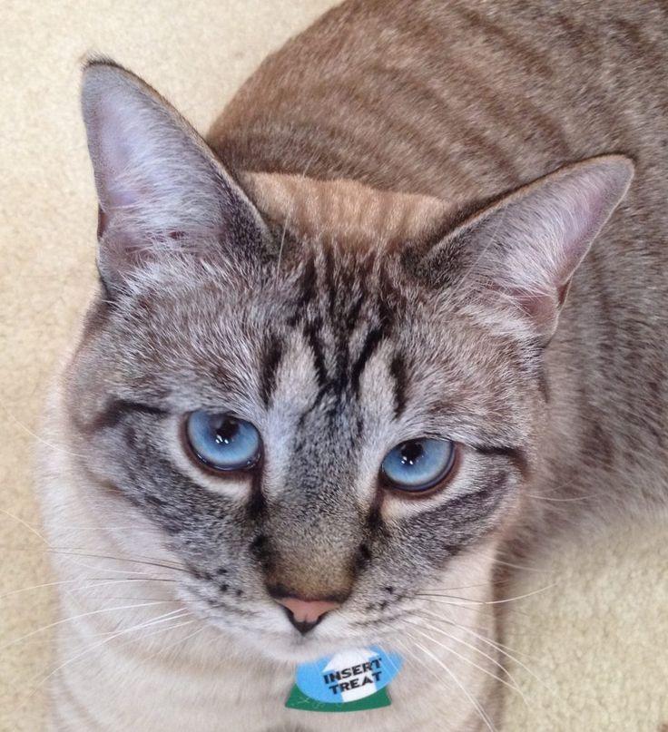 Азиатская табби кошка родом из великобритании: фото, характер, отзывы, описание породы, содержание и уход
