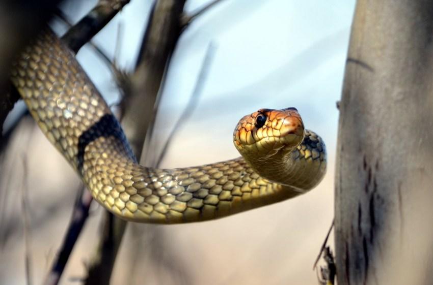 Желтая змея — особенности рептилий жёлтого окраса, повадки и описание основных видов