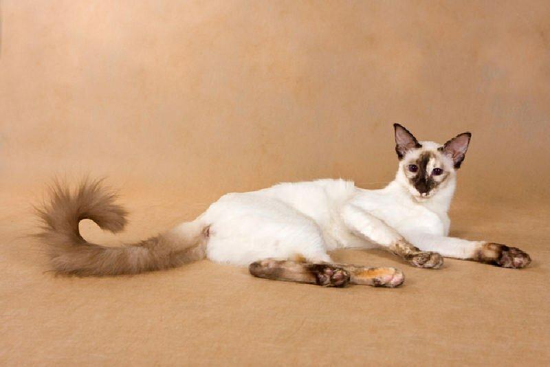 Балинезийская кошка : содержание дома, фото, купить, видео, цена