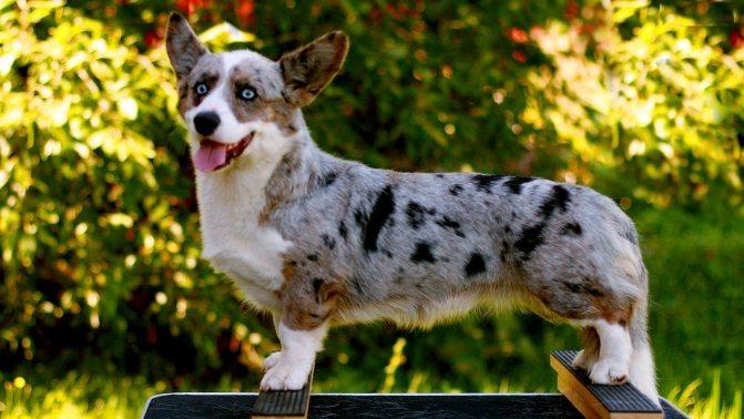 Длинная собака с длинными ушами: название породы, фото