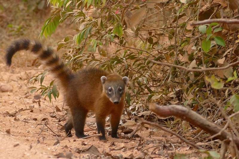 Носуха. описание и жизнь в дикой природе | все о животных