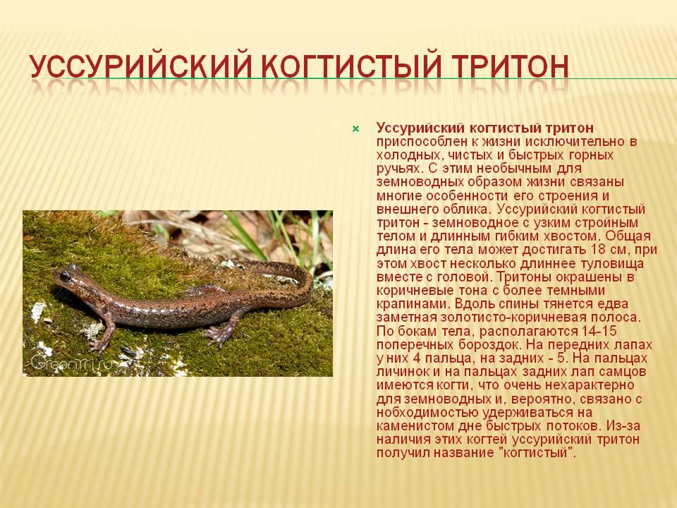 Углозубы. сибирский углозуб (salamandrella dybowski = сибирские углозубы). hynobius tschudi = углозубы. мир земноводных: жабы квакши, лягушки, тритоны: икра, размножение, поведение, питание, охота, зимовка