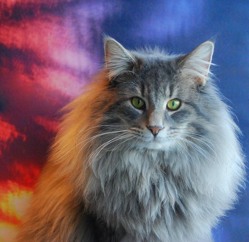 Описание породы норвежская лесная кошка: как неспутать «интеллектуального охотника» собычным дворовым пушистиком