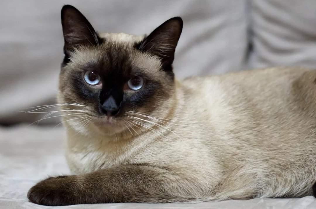 Тайская кошка (110 фото): цена котенка, факты, стандарты породы, плюсы и минусы характера