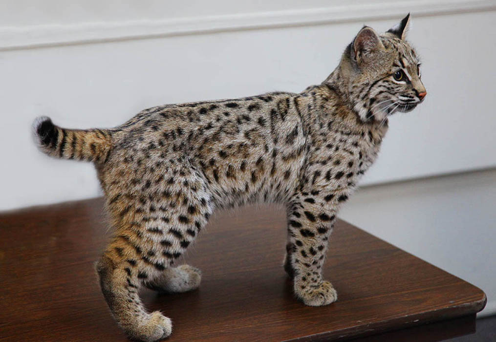 Рысь как домашняя кошка – разбираемся в породах и гибридах с обликом дикой рыси