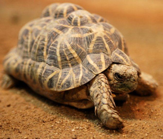 Звездчатая черепаха: уход в домашних условиях,фото
