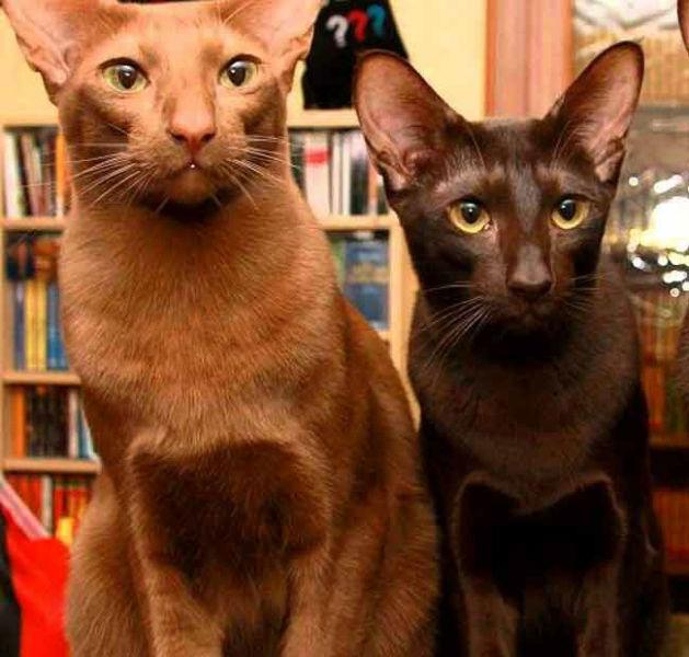 Гавана: порода кошек шоколадного цвета. - мир кошек