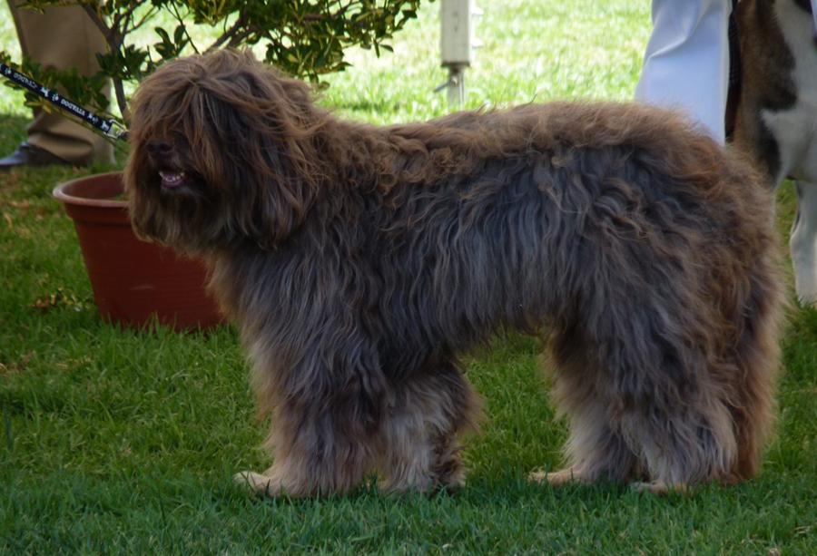 Волчья собака сарлоса: описание породы собак с фото и видео