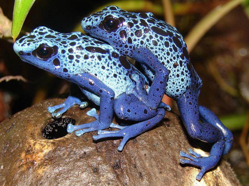 Ядовитые виды лягушек: самая ядовитая лягушка в мире