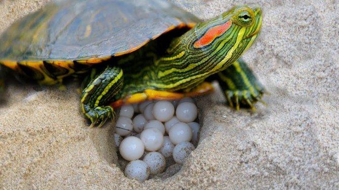 Спячка у красноухих черепах в домашних условиях: признаки, причины, уход (фото)