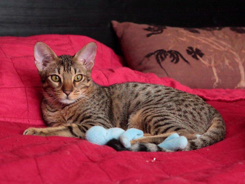Оцикет (27 фото): описание породы кошек, особенности характера котов. популярные клички