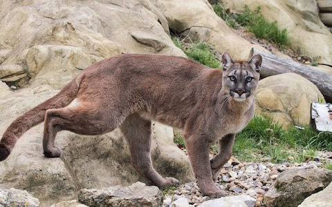 Анатолийская кошка: фото, описание породы, уход, характер и поведение