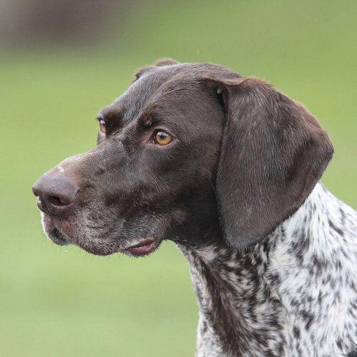 Курцхаар ???? фото, описание, характер, факты, плюсы, минусы собаки ✔