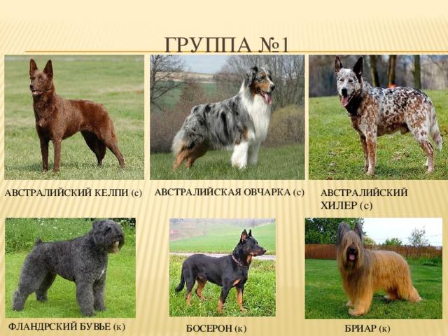Овчарка: фото и описание разных видов породы