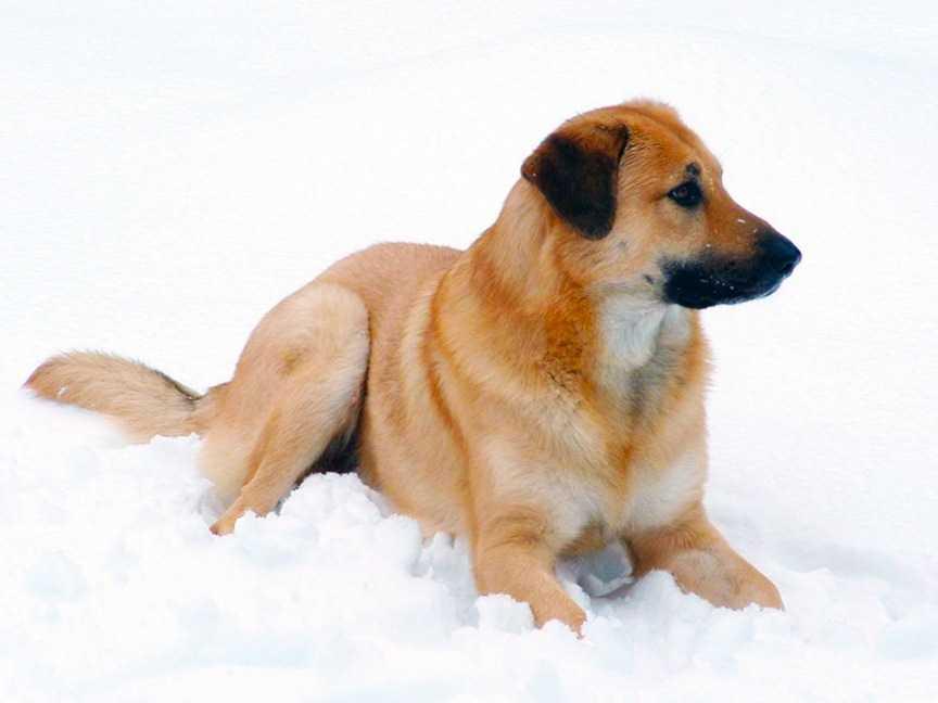 Чинук: описание породы, характер, уход,  фото   все о собаках