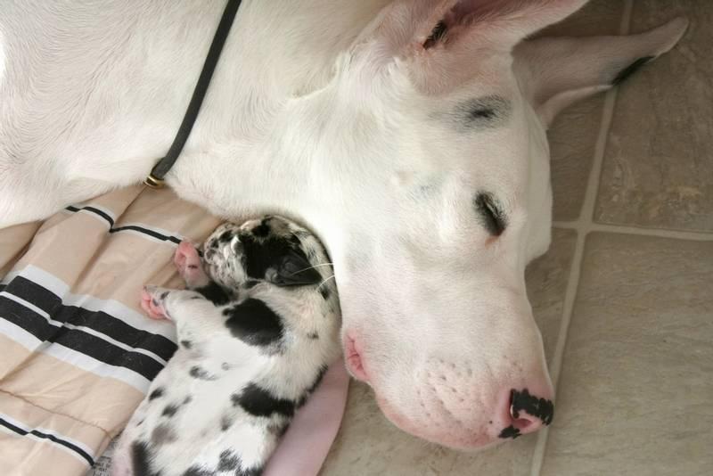 Абсцесс на лапе у собаки: причина и лечение