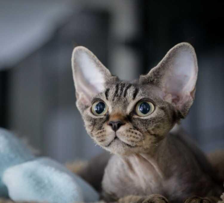 Породы кошек для аллергиков: 19 малоаллергенных кошек с фото и описанием