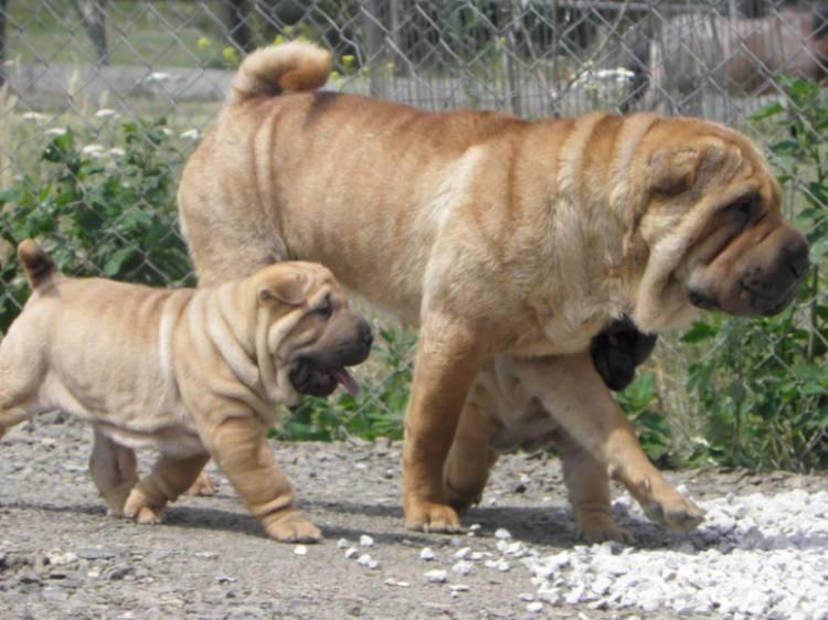 Средняя продолжительность жизни собак шарпеев дома: от чего зависит