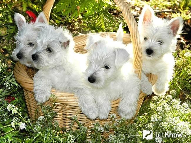 Вест-хайленд-уайт-терьер: описание породы, цена щенков ивзрослых собак, фото + отзывы